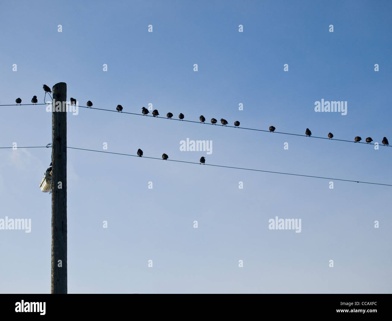 Starlings gathered on telegraph wires - Stock Image