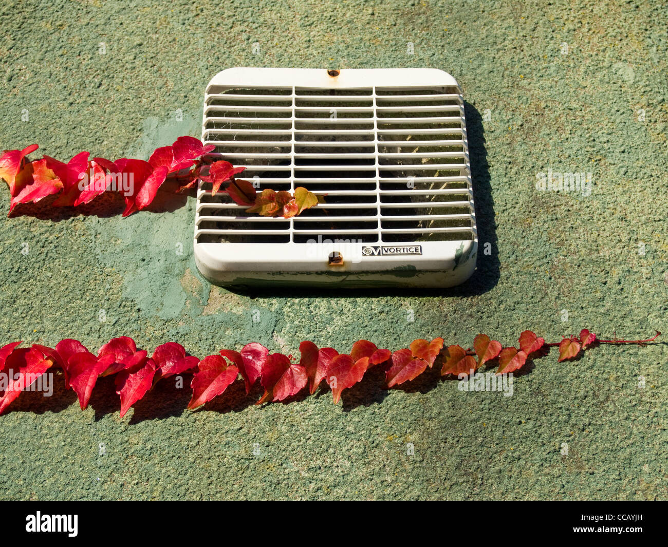 Branches of Virginia creeper in autumnal color moving along a wall and starting to cover an extractor fan outlet - Stock Image