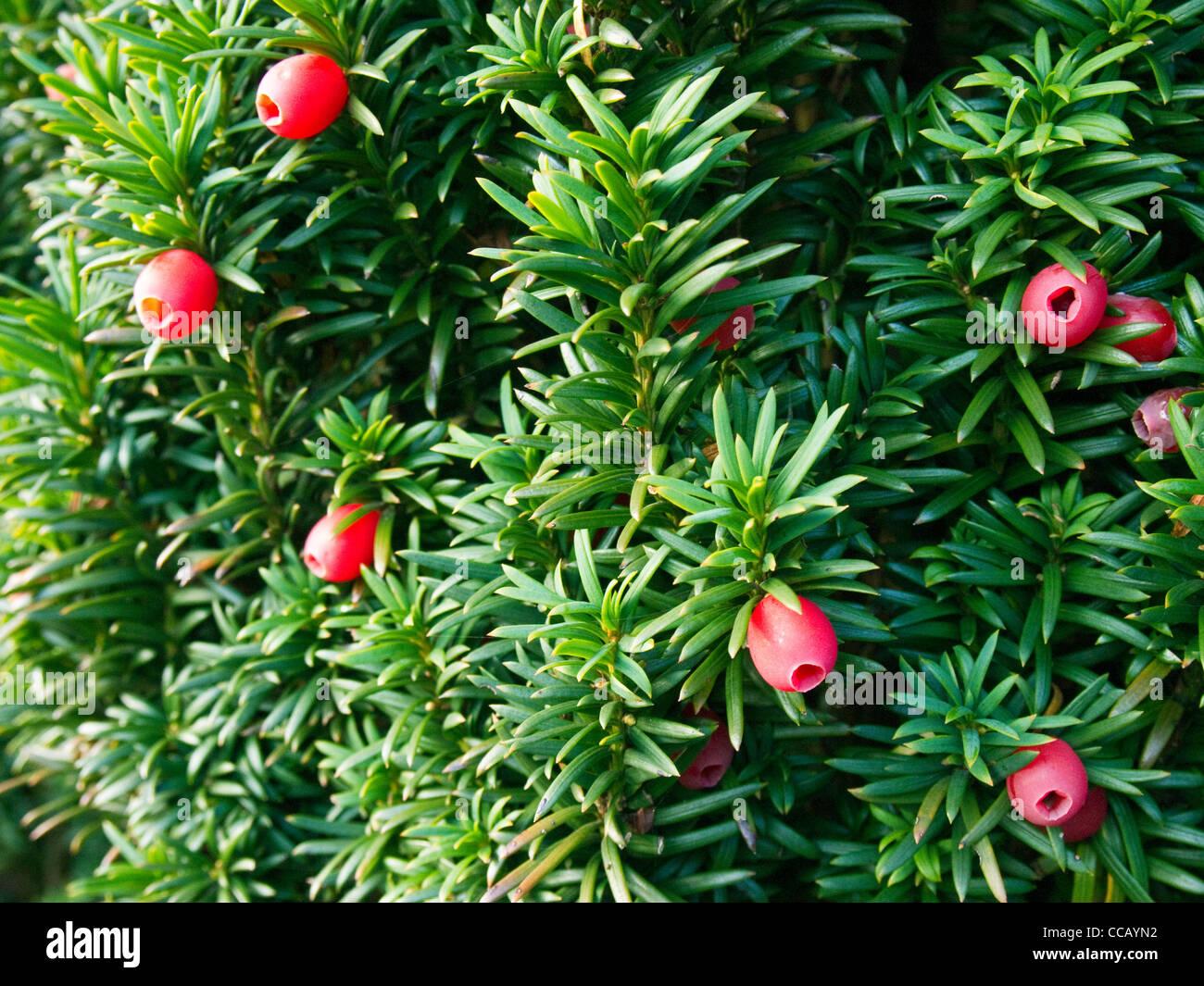 Red berries of the Irish Yew tree Stock Photo