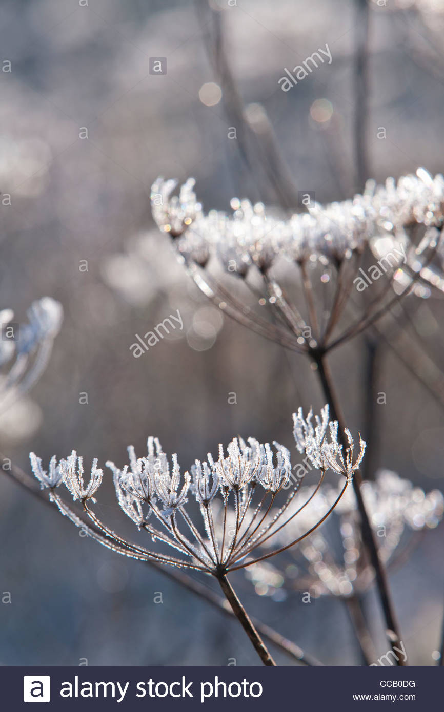 Frost covered cow parsley stalks in winter - Stock Image