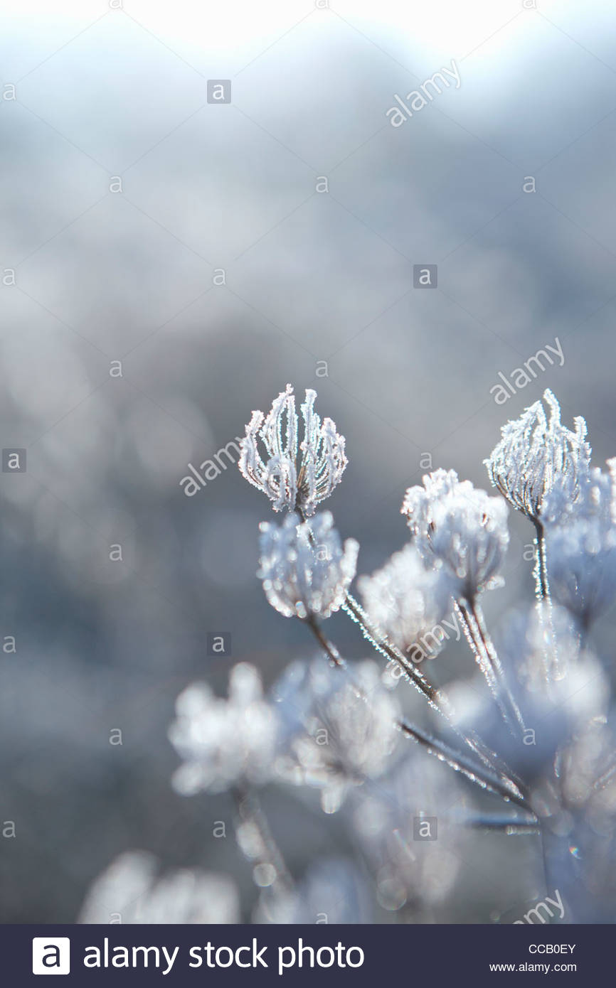 Frost covered cow parsley stalks in winter Stock Photo