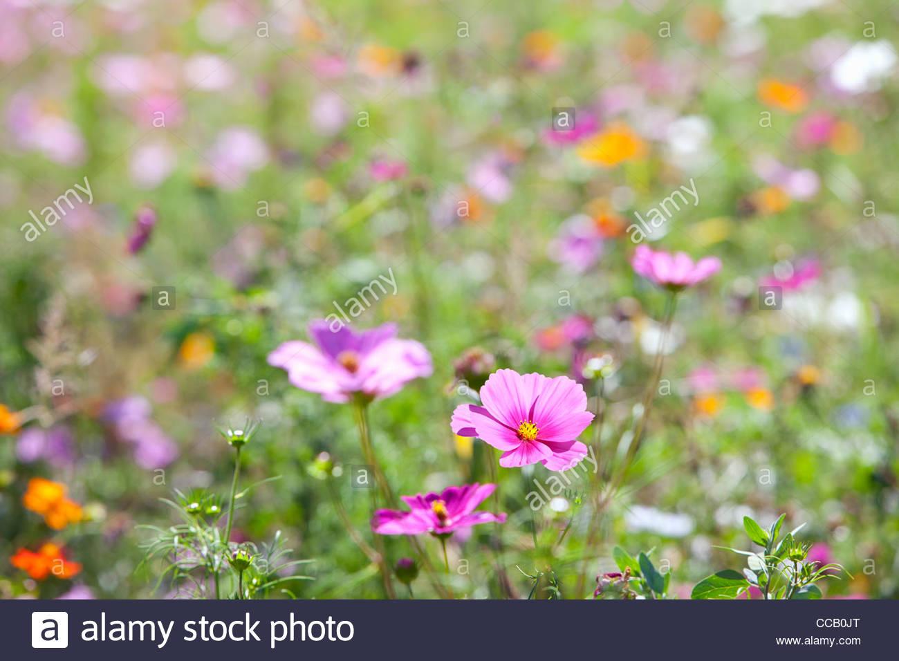 Pink blooming flowers in field of wildflowers - Stock Image
