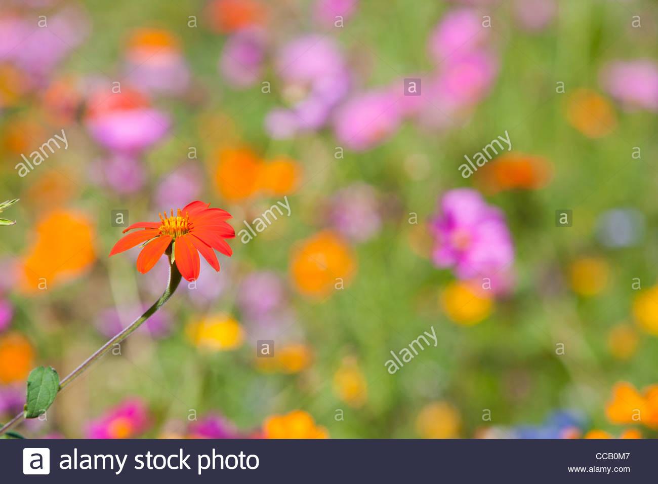 Orange blooming flower in field of wildflowers - Stock Image