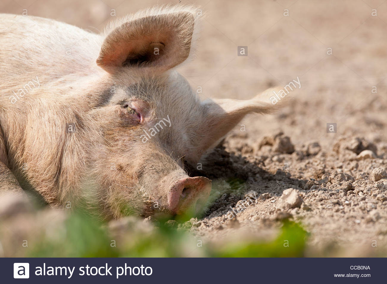 Tranquil pig sleeping in dirt - Stock Image