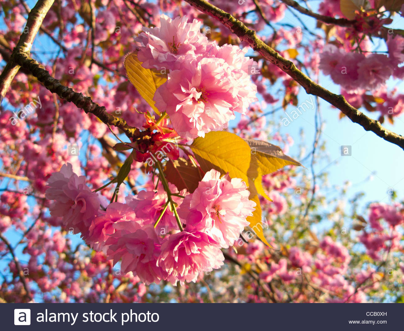 Close up of abundant pink, spring flowers blooming on branch - Stock Image