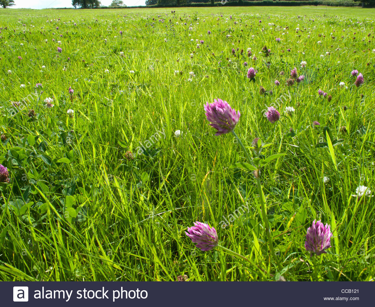 Purple clover blooming in grassy field - Stock Image