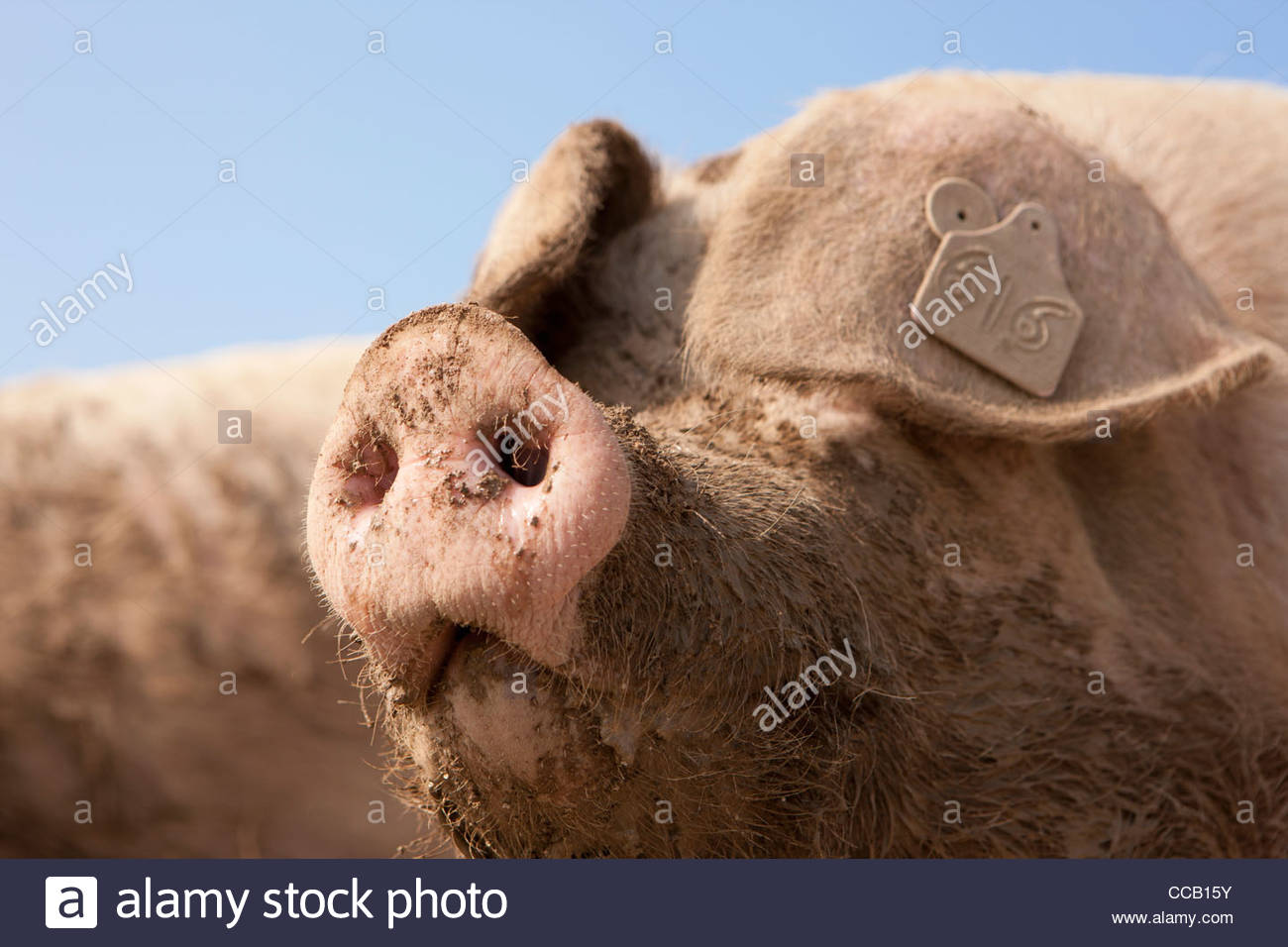 Close up of muddy pig's snout - Stock Image