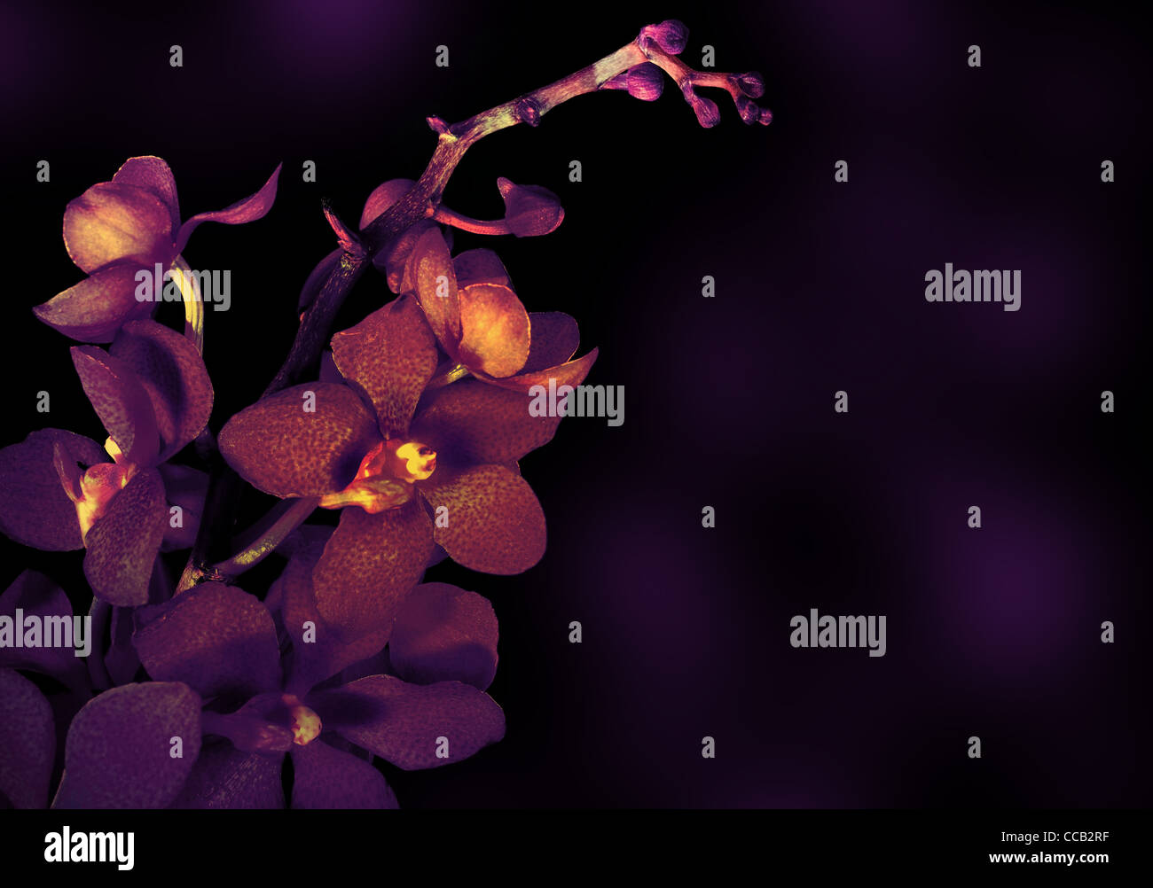 Beautiful purple orchid flower isolated on dark background Stock Photo