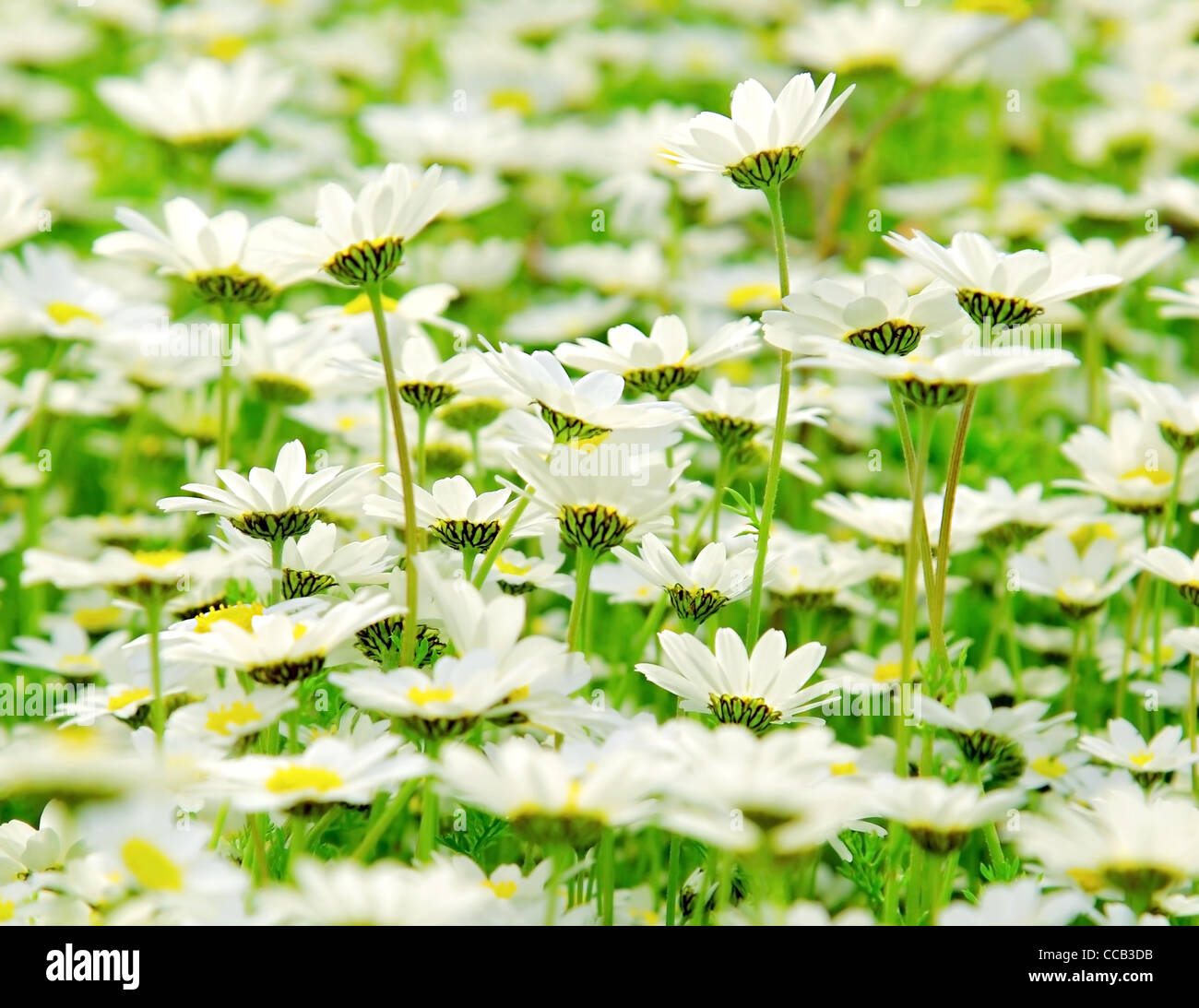 Spring Meadow Of White Fresh Daisy Flowers Natural Landscape Stock
