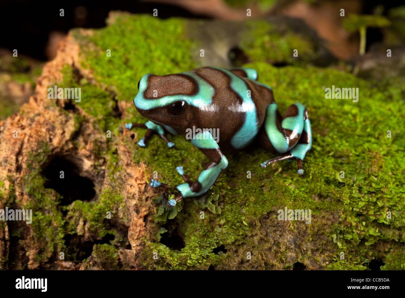 Cute Frog In Terrarium Dendrobates Auratus Poison Dart Frog Of Rain
