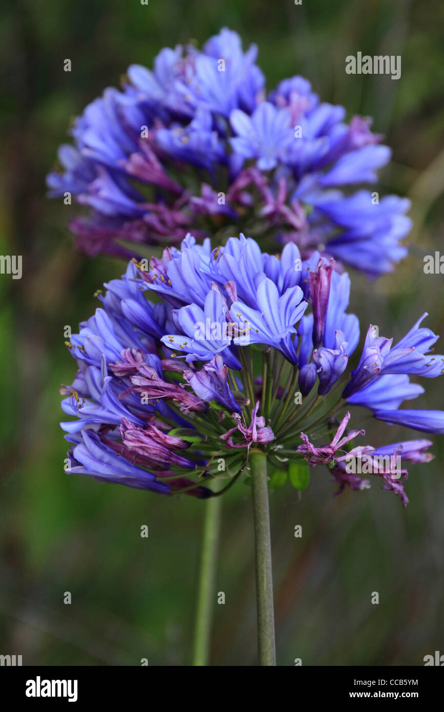 Blue Agapanthus flowers, Cape Town, South Africa. - Stock Image