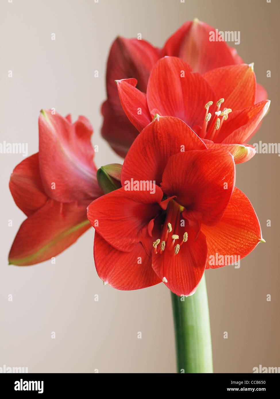 Red Amaryllis flower Stock Photo