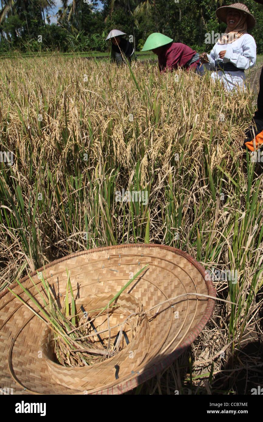 rice Yogyakarta Indonesia Central Java - Stock Image