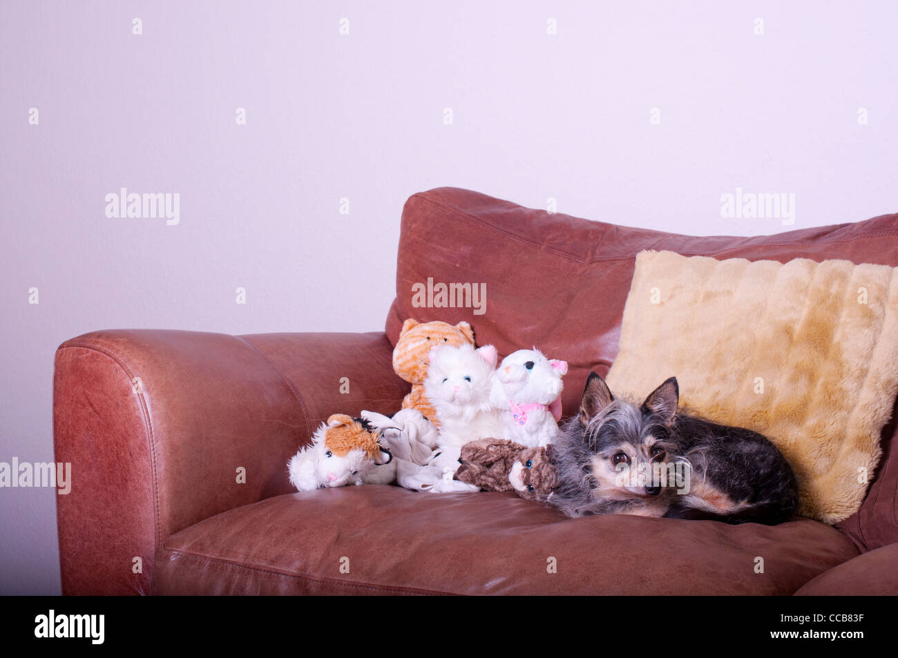 Cute small dog on sofa with soft toy cats. - Stock Image