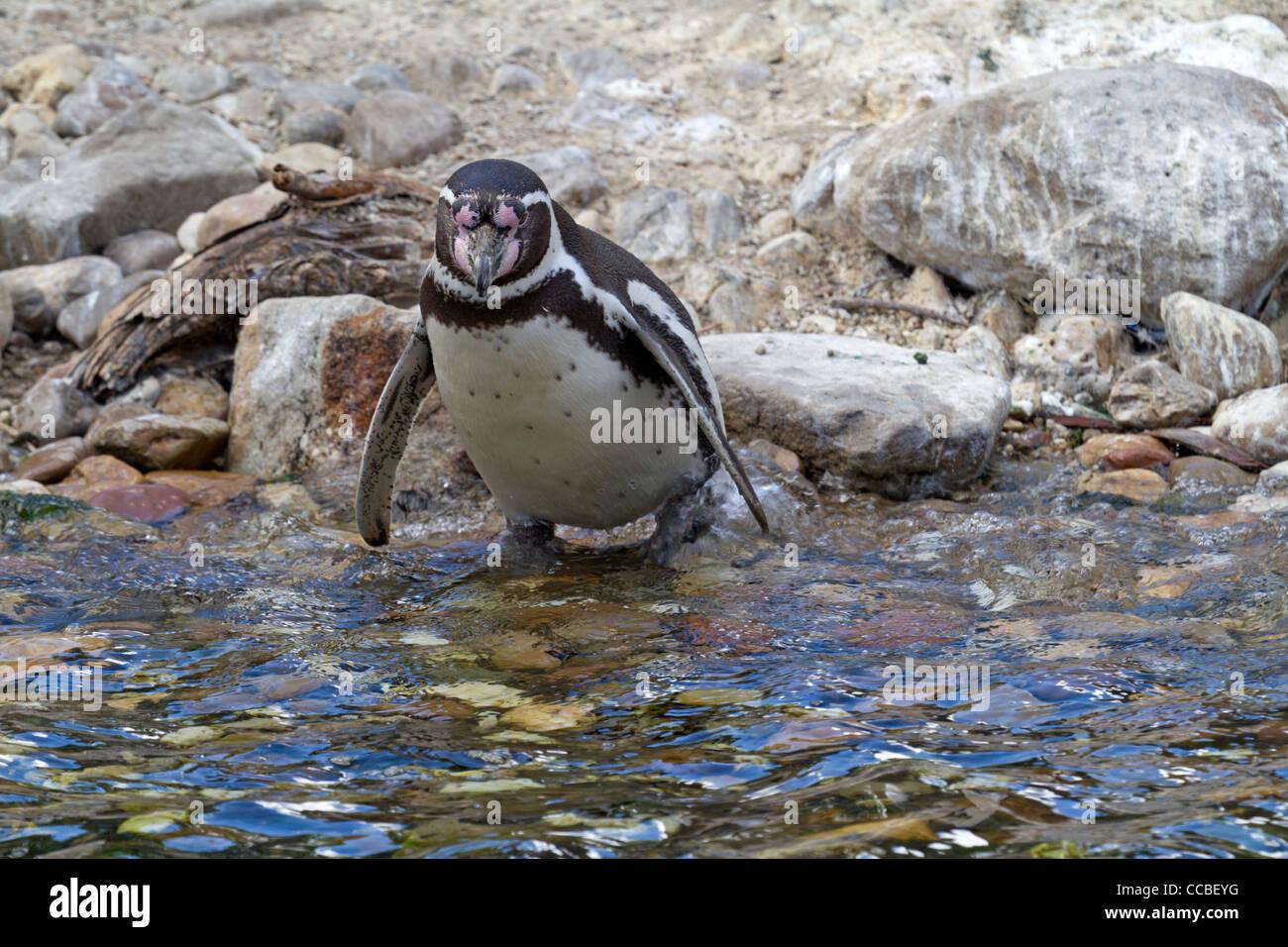Humboldt Penguins (Spheniscus humboldti) Stock Photo