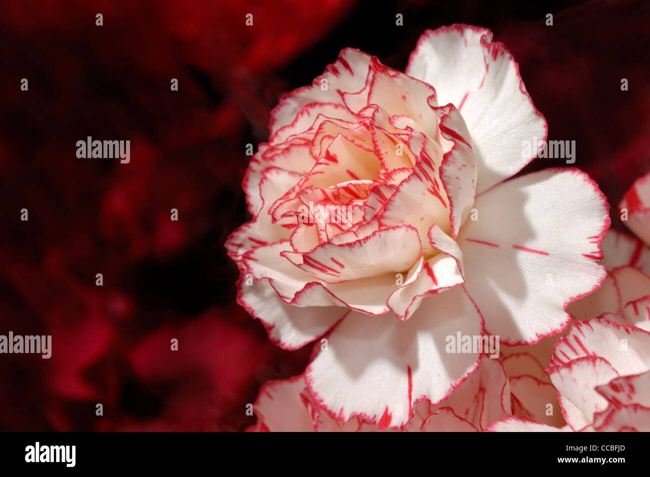 Red White Dianthus Flowers Stock Photos & Red White Dianthus Flowers ...