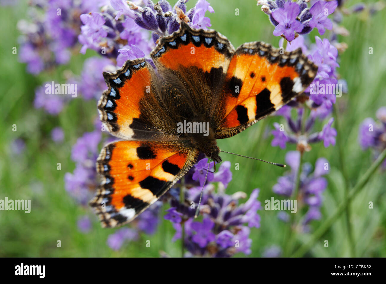 Small Tortoiseshell butterfly (Aglais urticae) on lavender - Stock Image