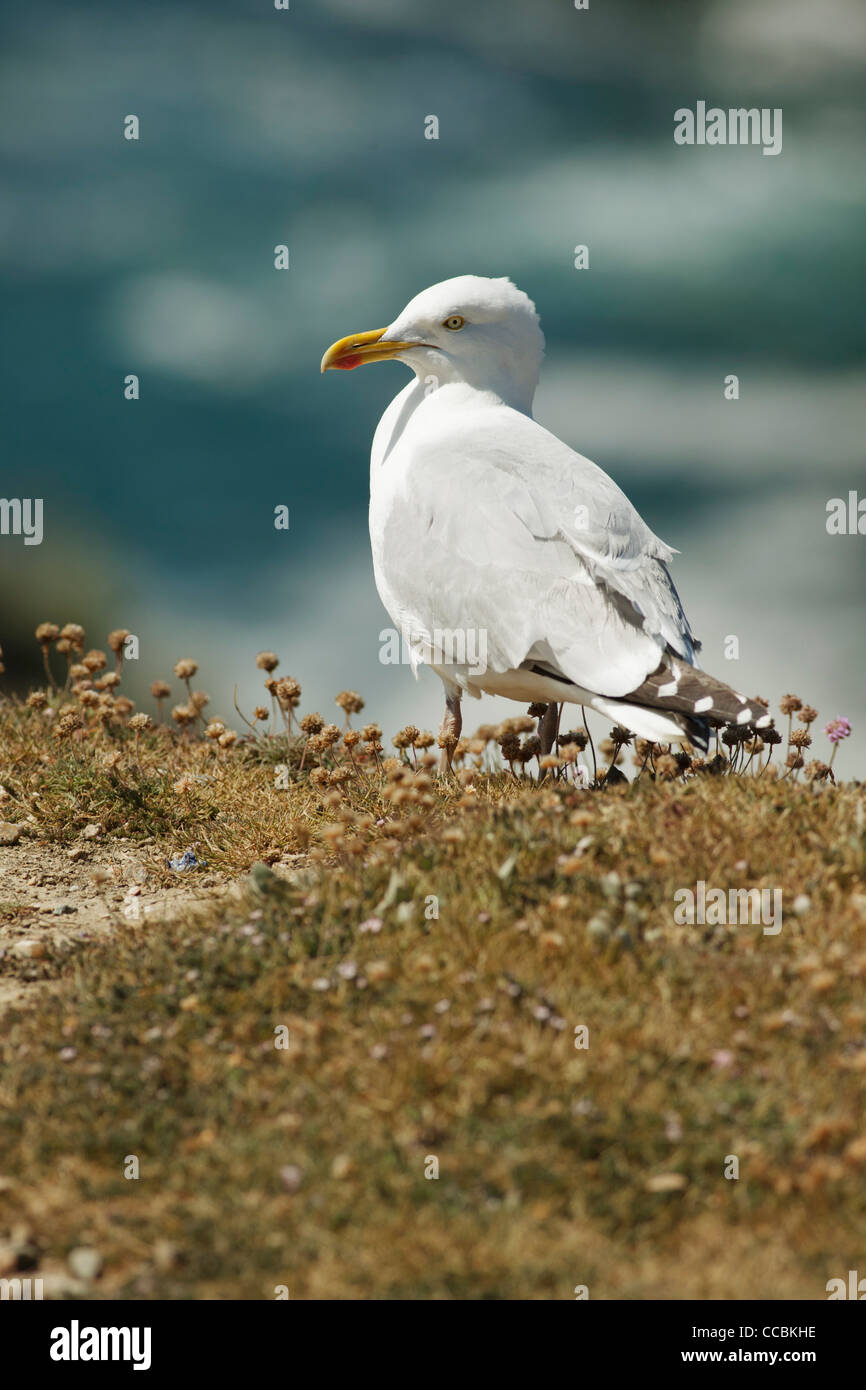Seagull - Stock Image