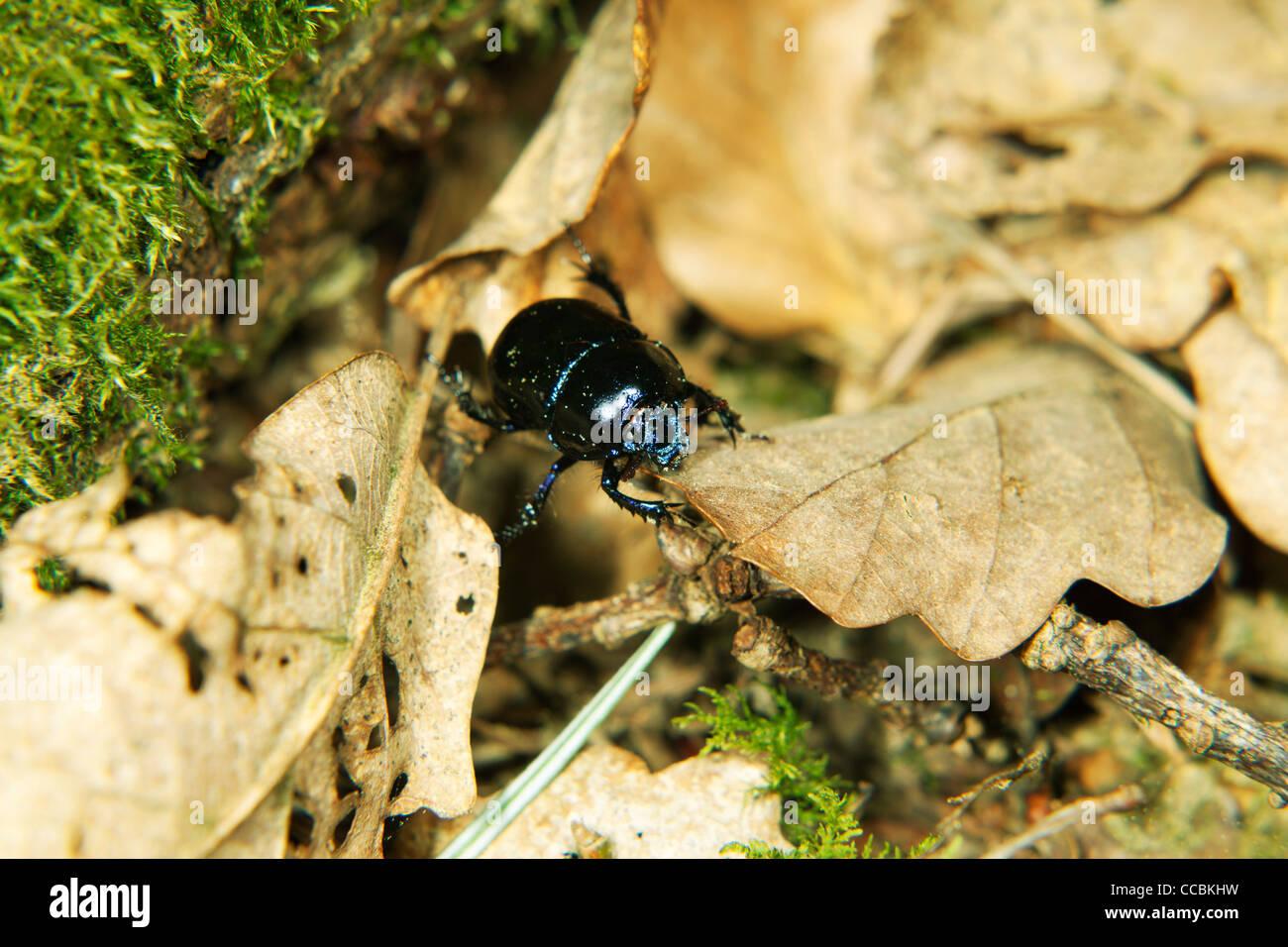 Black beetle - Stock Image