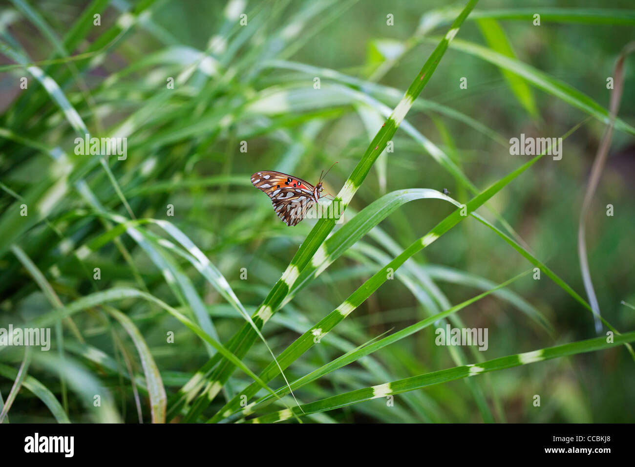 Butterfly resting on grass - Stock Image