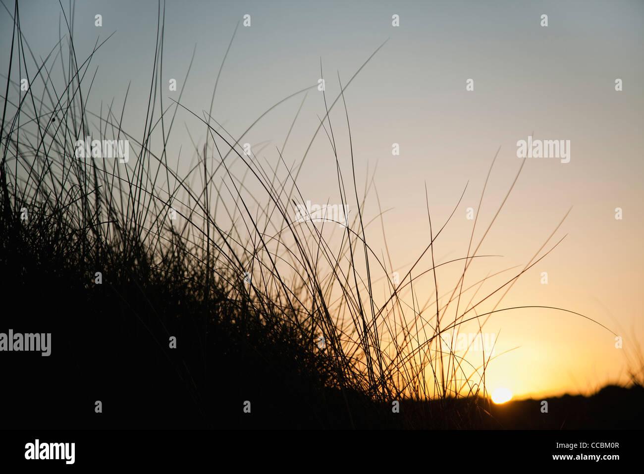 Sun setting behind tall grass - Stock Image