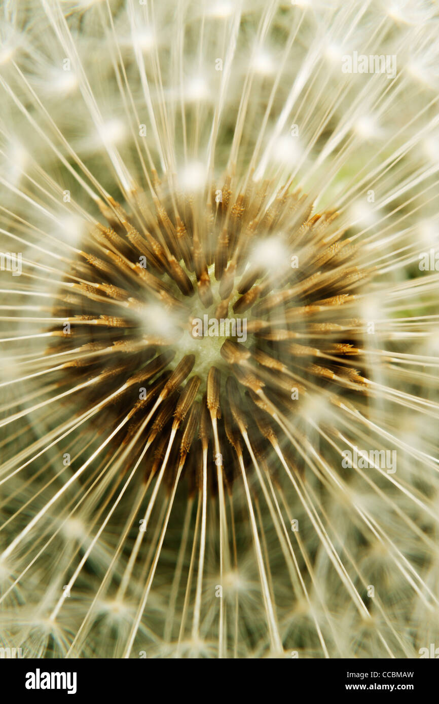 Dandelion seedhead, extreme close-up Stock Photo