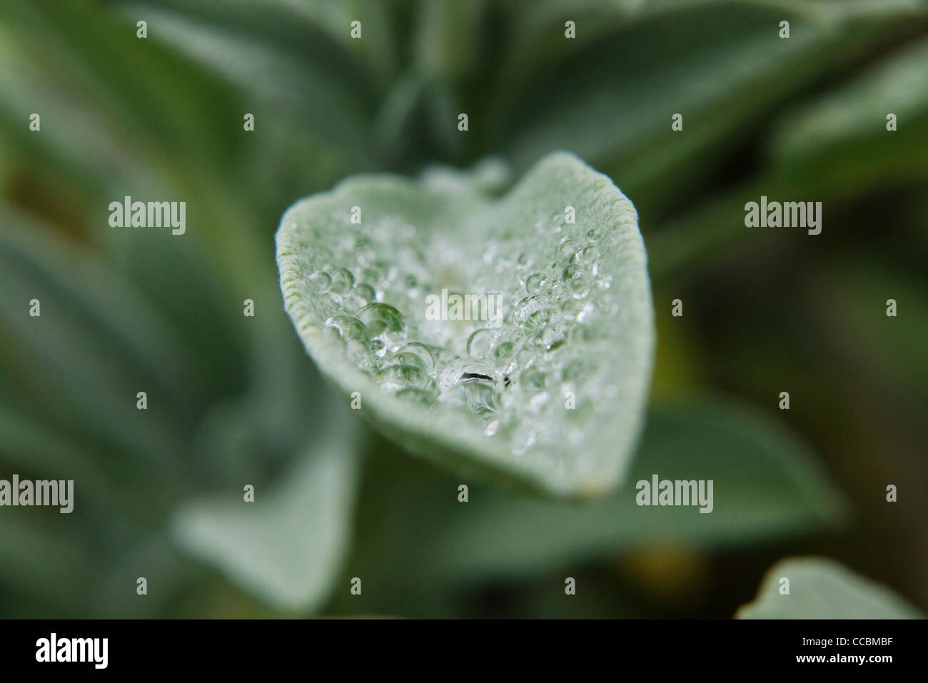 Water drops on sage leaf, close-up - Stock Image
