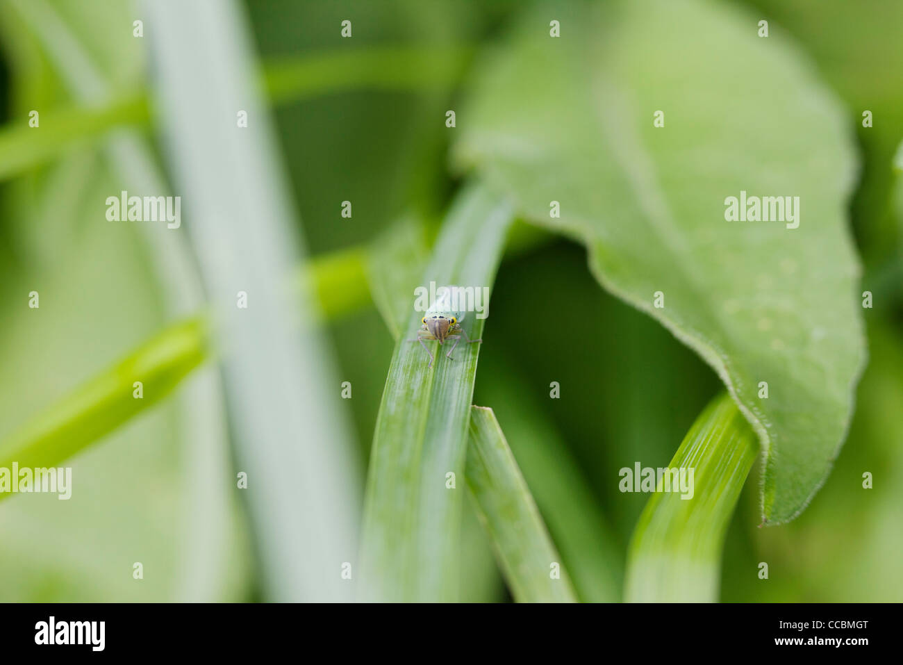 Insect on blade of grass - Stock Image
