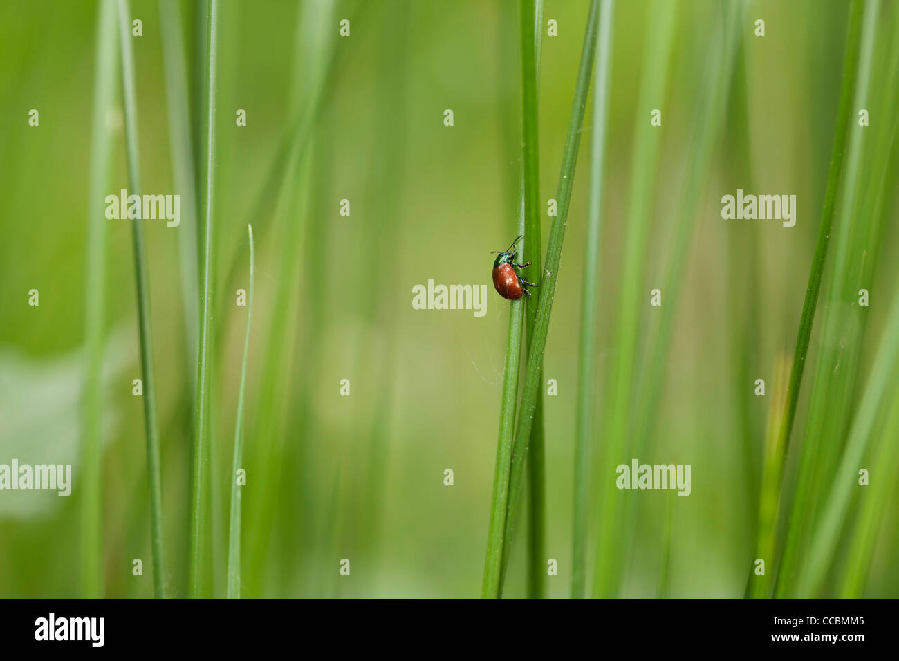 Poplar leaf beetle (Chrysomela populi) crawling on blade of grass - Stock Image