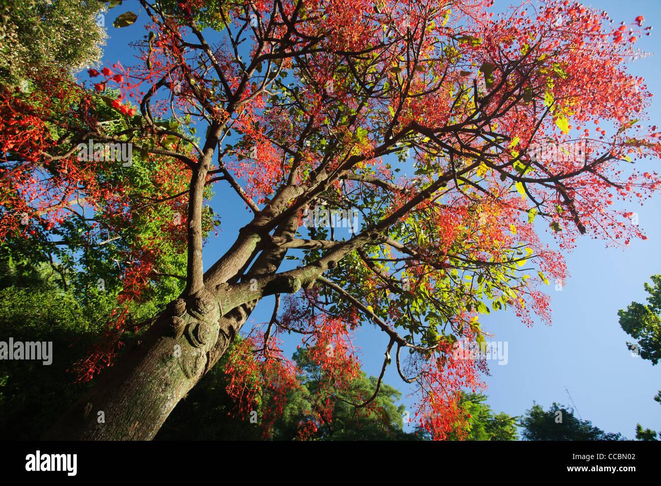 Illawara flame tree (Brachychiton acerifolius) - Stock Image