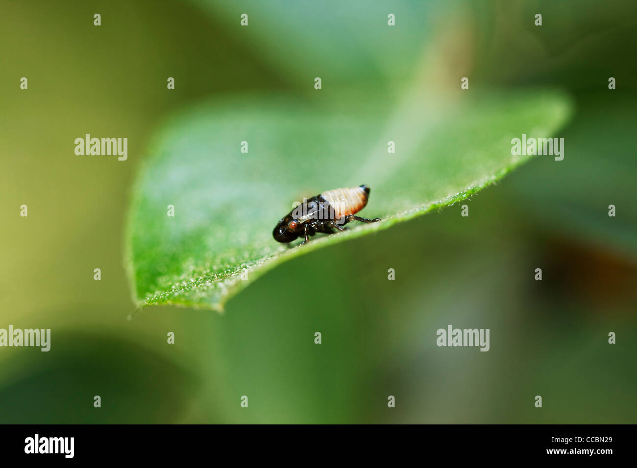 Froghopper (Cercopis vulnerata) nymph, also known as a spittlebug - Stock Image