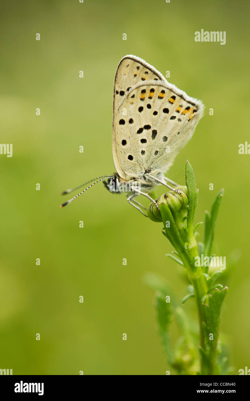 Brown Argus butterfly (Aricia agestis) - Stock Image