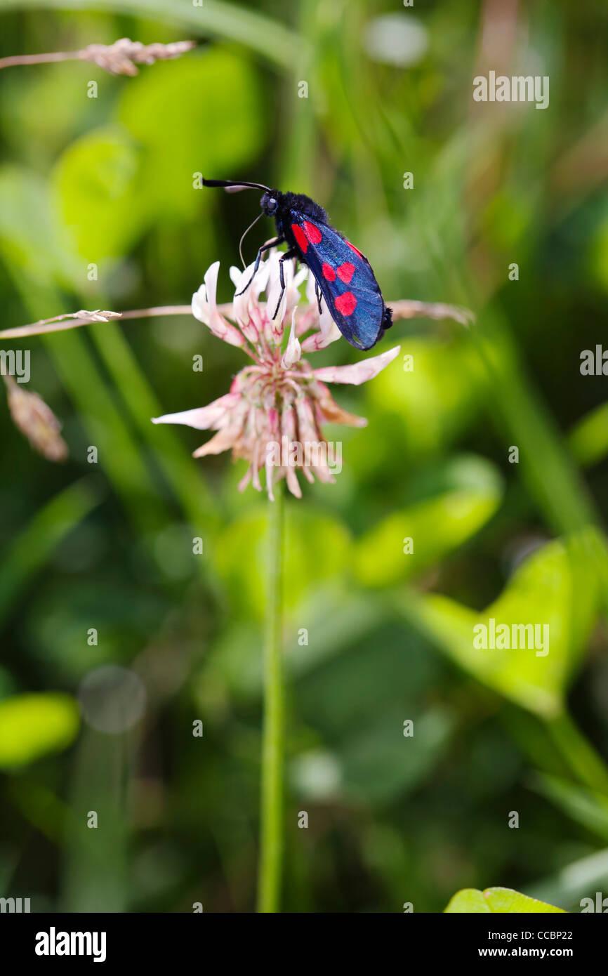 Six-spot Burnet moth (Zygaena filipendulae) on clover flower - Stock Image