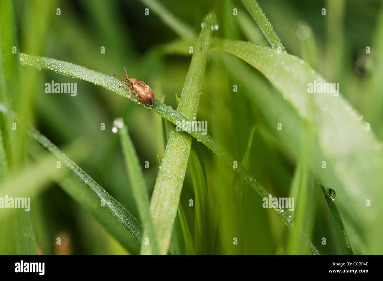 Weevil on dew-covered grass - Stock Image