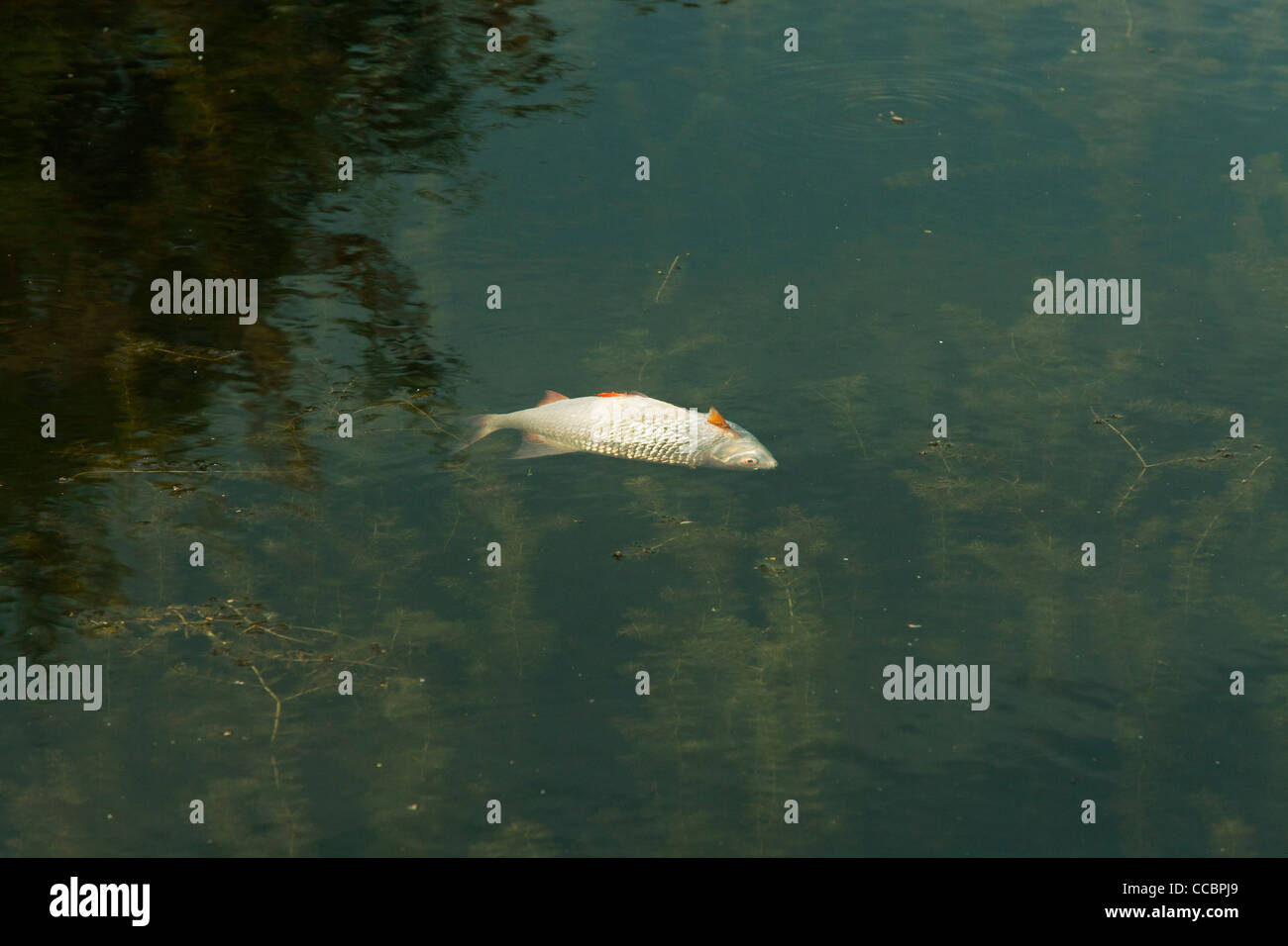 Dead fish floating in pond - Stock Image