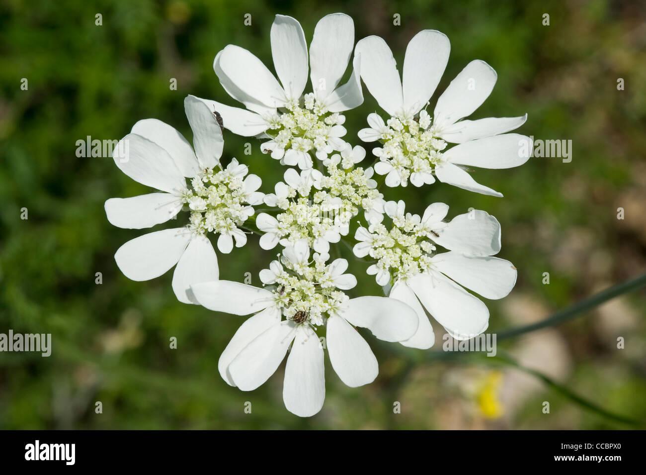 orlaya grandiflora flowers, cres island, croatia Stock Photo