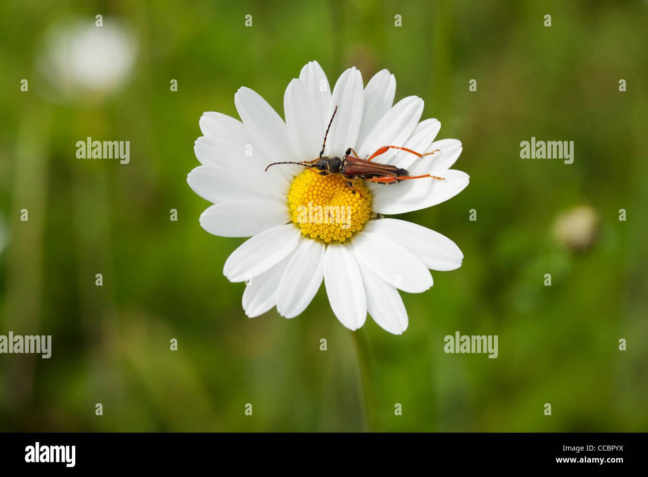 Longhorn beetle on daisy - Stock Image