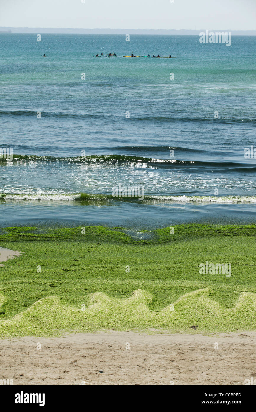 Toxic algae washed up on beach, Plage de Postolonnec, Crozon Peninsula, FinistÅre, Brittany, France - Stock Image