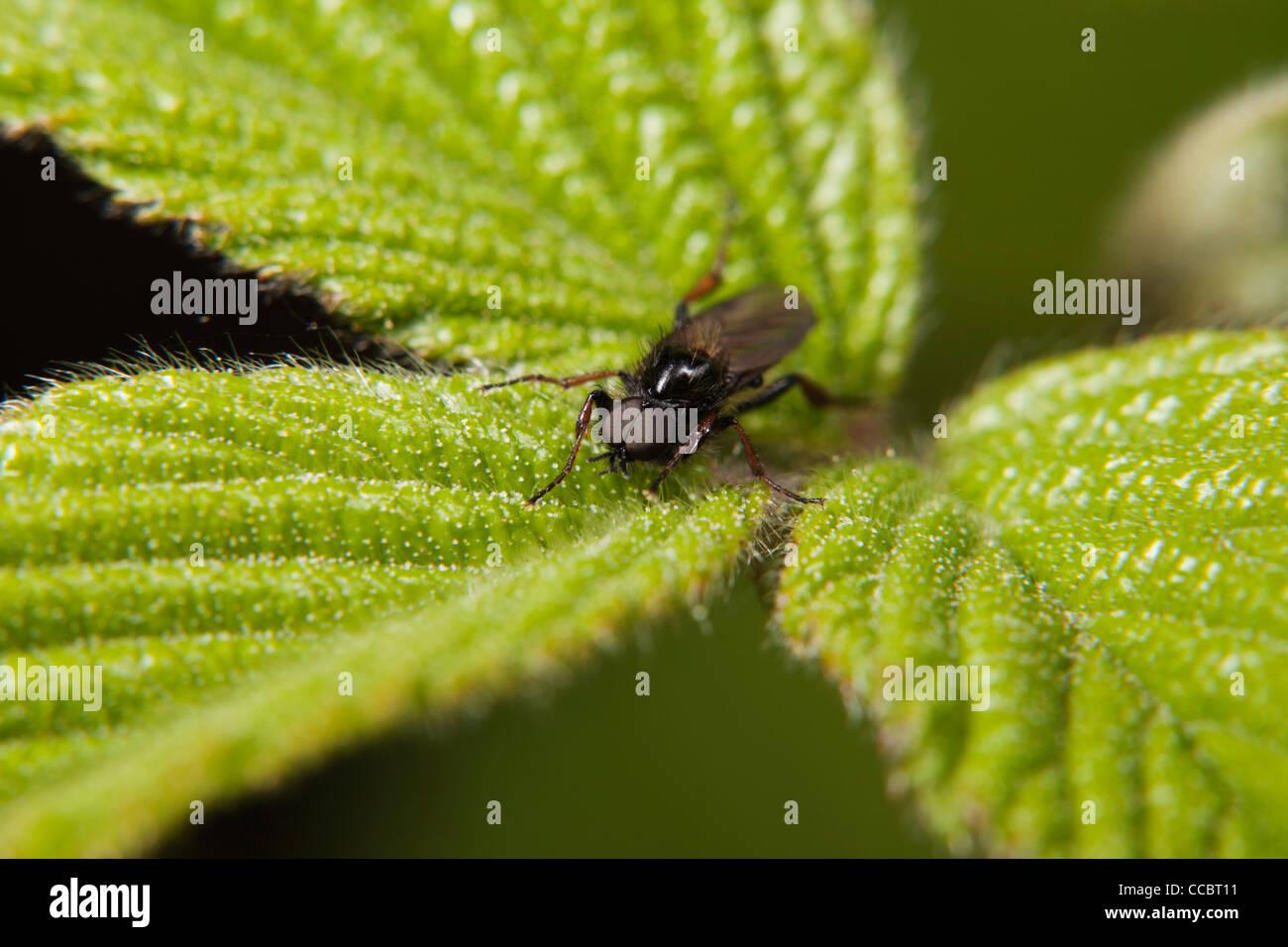 St. Mark's fly (Bibio marci) resting on plant - Stock Image