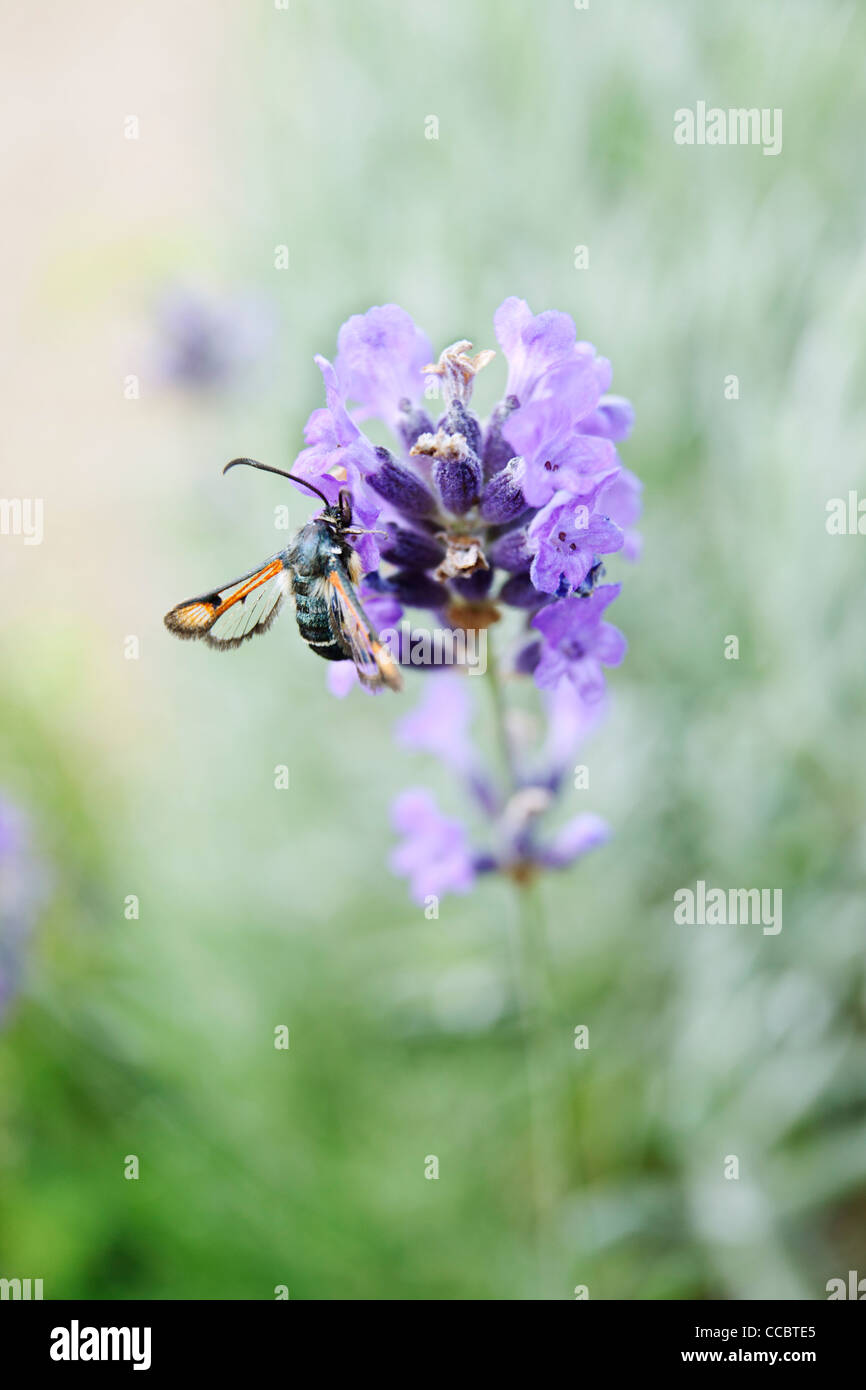 Fiery clearwing (Pyropteron chrysidiformis) on lavender - Stock Image