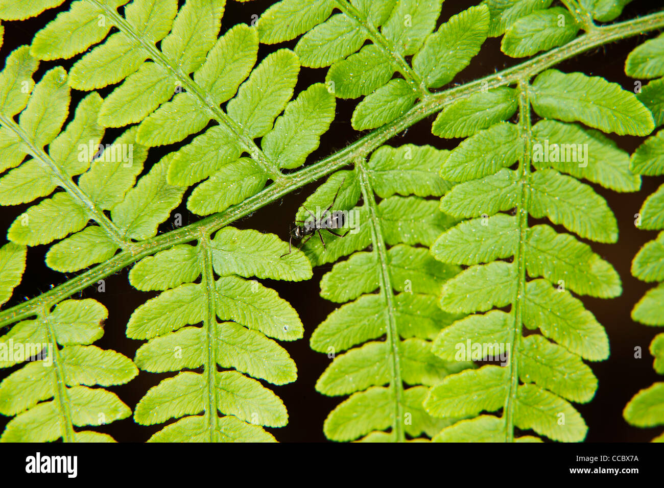 Ant crawling on fern frond - Stock Image