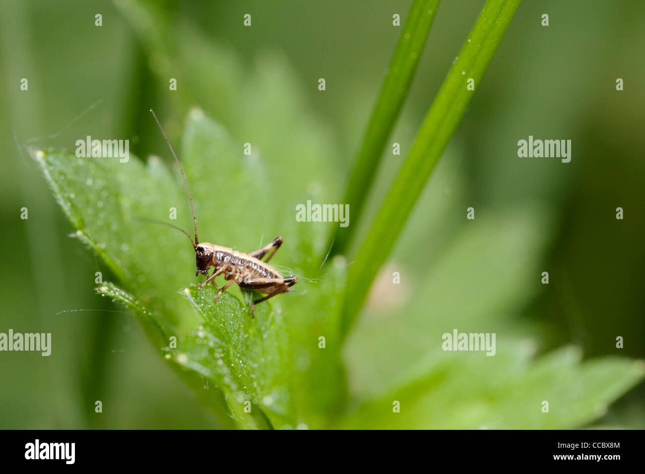 Cricket resting on plant - Stock Image