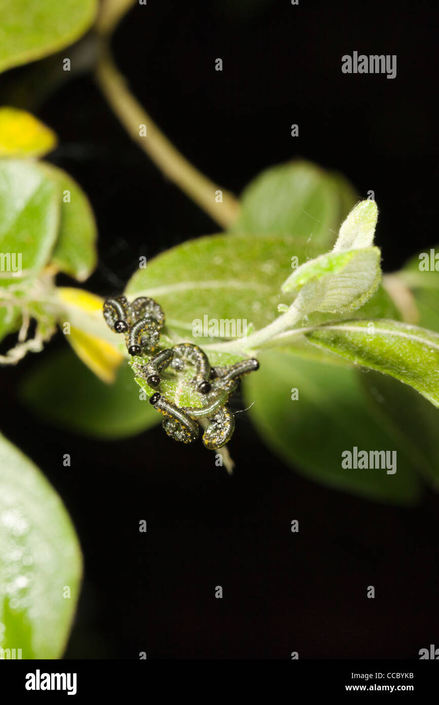 Sawfly (Symphyta) larva - Stock Image