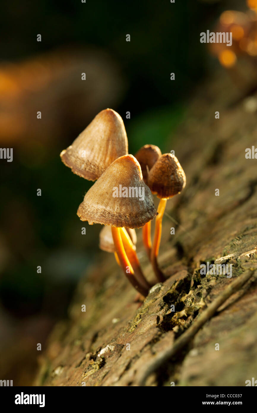 Mushrooms growing on tree trunk - Stock Image
