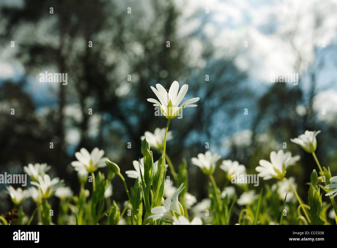 Greater Stitchwort (Stellaria holostea) flowers - Stock Image
