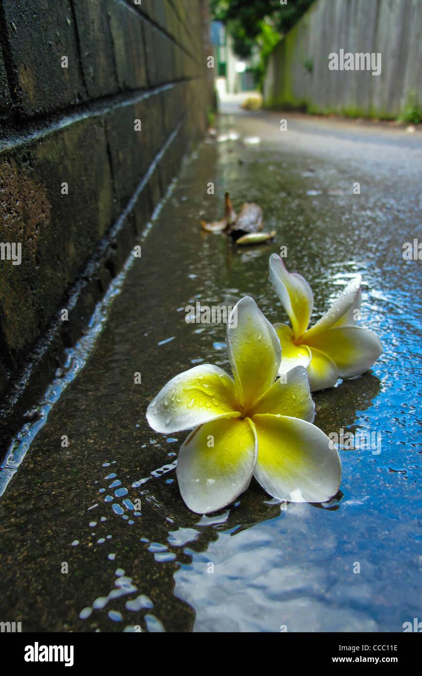 Frangipani flowers in gutter - Stock Image
