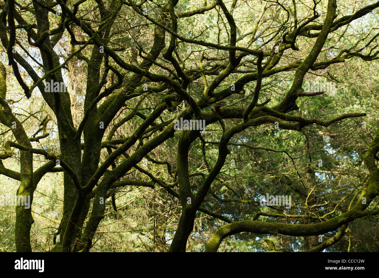 Tree branches covered in moss Stock Photo