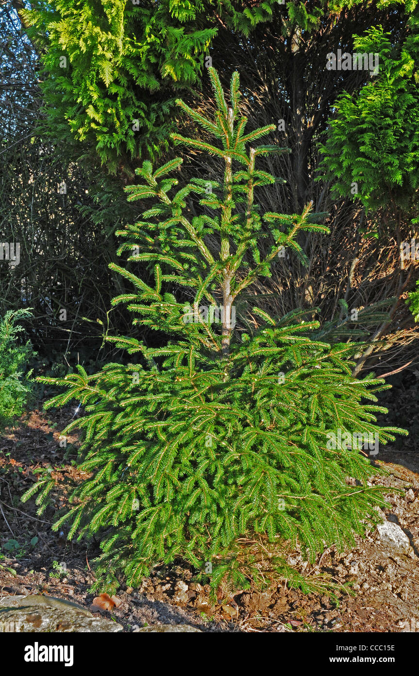 Christmas tree Norway Spruce Picea abies planted out after Christmas. - Stock Image