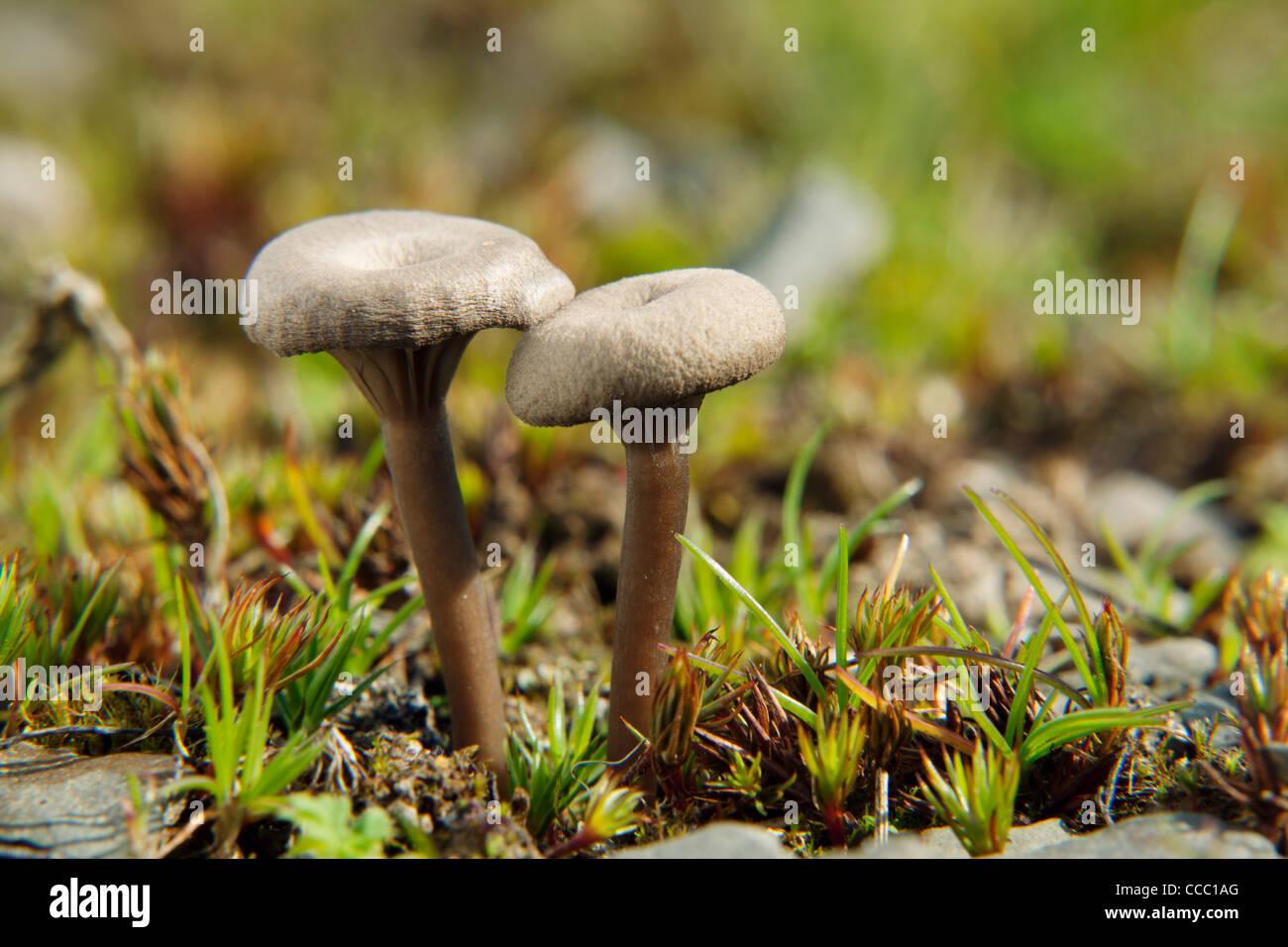 Clitocybe mushrooms - Stock Image