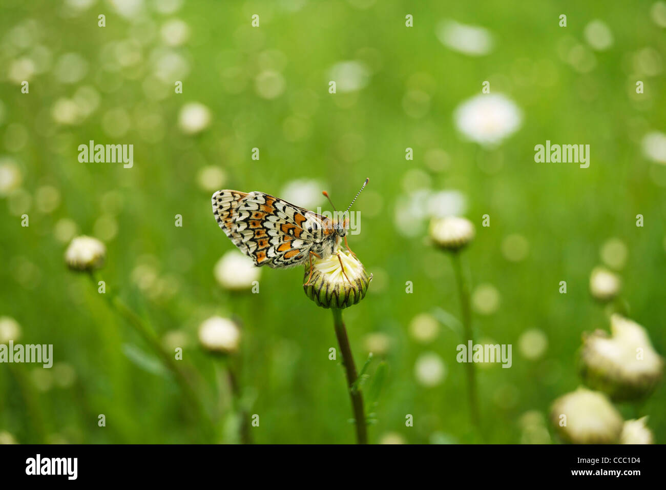 Spotted Fritillary butterfly (Melitaea didyma) - Stock Image